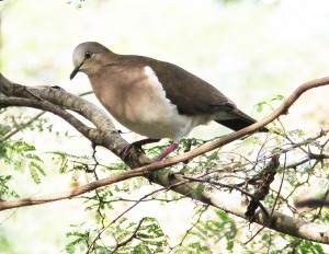National Bird - Grenada Dove